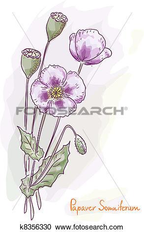 Clipart of Opium poppy (Papaver somniferum). k8356330.