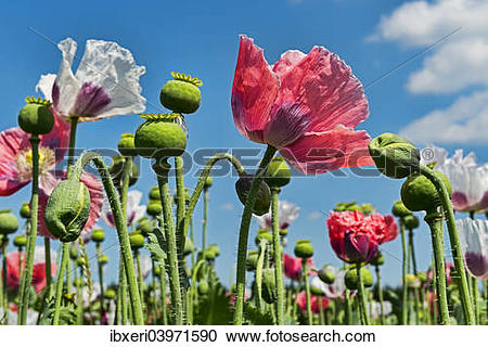 "Stock Photography of ""Flowers and flower buds, Opium Poppy."
