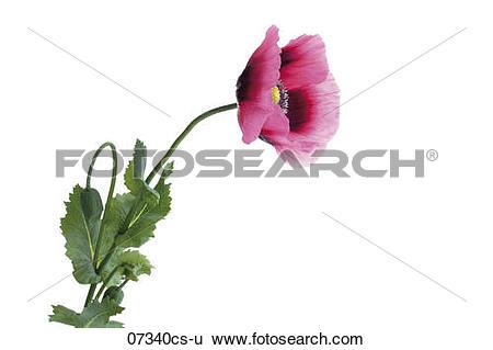 Stock Images of Opium poppy (Papaver somniferum), close.