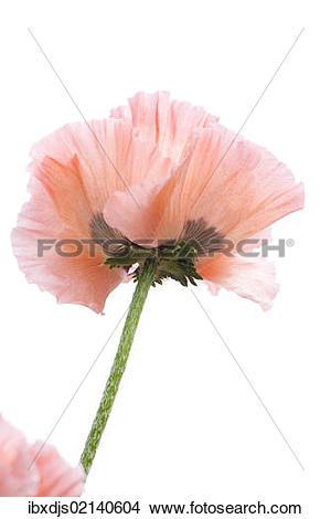 Stock Photo of Opium Poppy (Papaver somniferum) ibxdjs02140604.