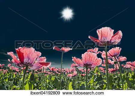 Stock Photograph of Field with flowering Opium Poppy (Papaver.