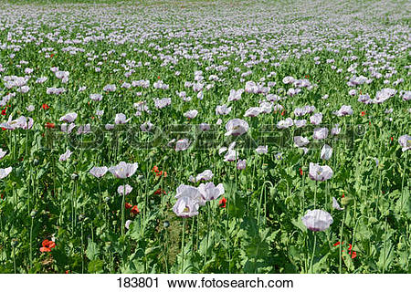 Stock Photography of Opium Poppy (Papaver somniferum). Flowering.