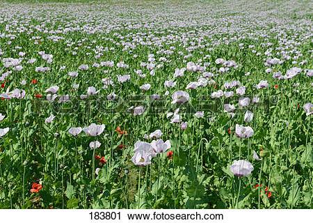 Stock Photography of Opium Poppy (Papaver somniferum). Flowering.