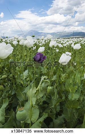 Stock Image of Opium poppy field, (Papaver somniferum), Turkey.