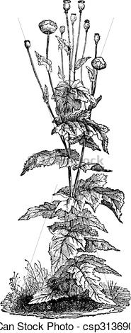 EPS Vectors of Papaver somniferum, vintage engraving..