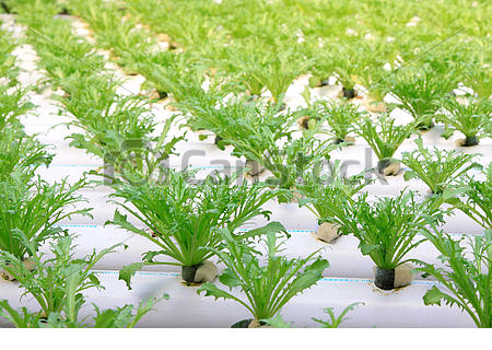 Stock Photo of Sonchus soilless cultivation in a plantation, China.