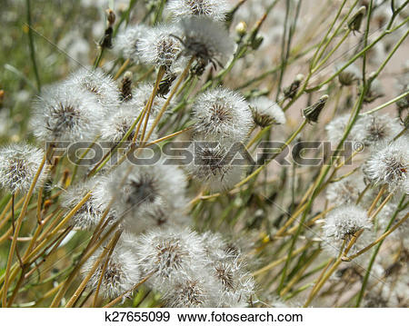 Stock Photograph of Sonchus seedheads background k27655099.