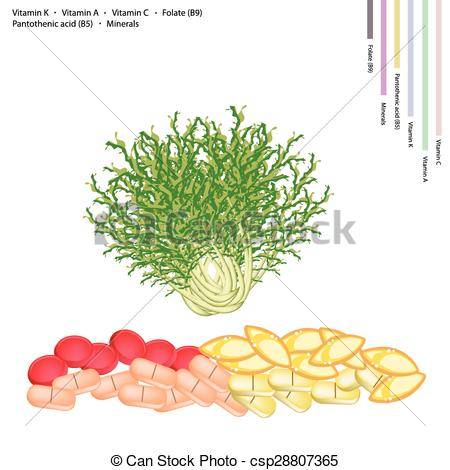 Clip Art Vector of Fresh Chicory with Vitamin K, A, C and B.