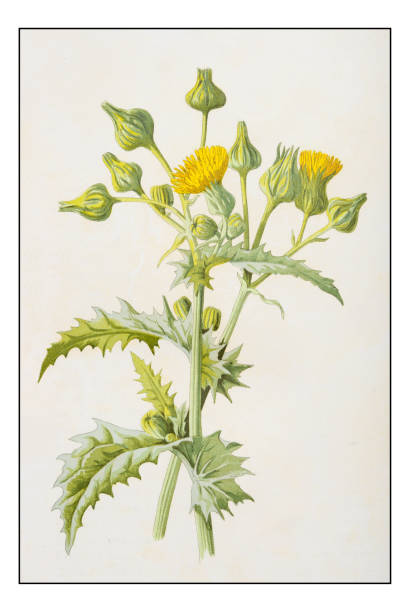 Sow Thistle Clip Art, Vector Images & Illustrations.