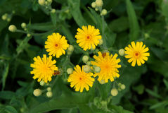 Sonchus Oleraceus. Common Sowthistle. Sow Thistle Stock Photo.