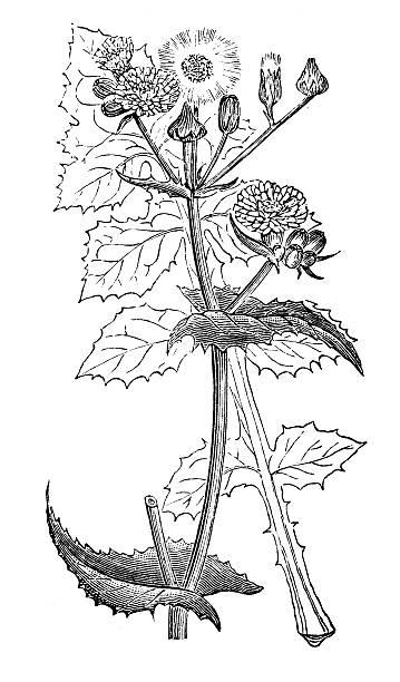 Sonchus Clip Art, Vector Images & Illustrations.