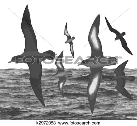 Stock Illustration of Sooty Shearwater k2972058.