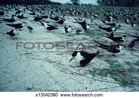 Stock Photography of Flock of sooty terns (Sterna fuscata nubilosa.
