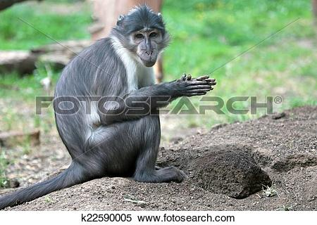Stock Image of Sooty mangabey with a clod of earth k22590005.