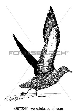 Clipart of Sooty Shearwater k2972061.