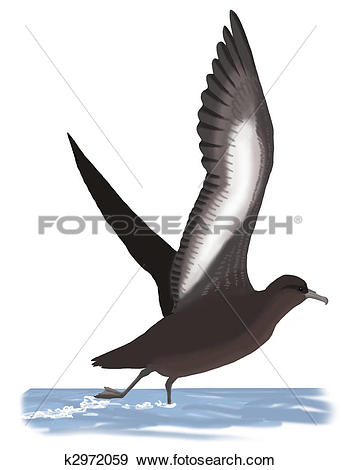 Stock Illustration of Sooty Shearwater k2972059.