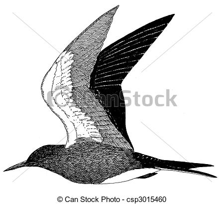 Stock Illustration of Sooty Tern.
