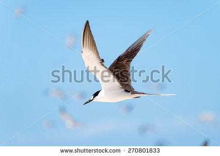 Sooty Tern Stock Photos, Royalty.