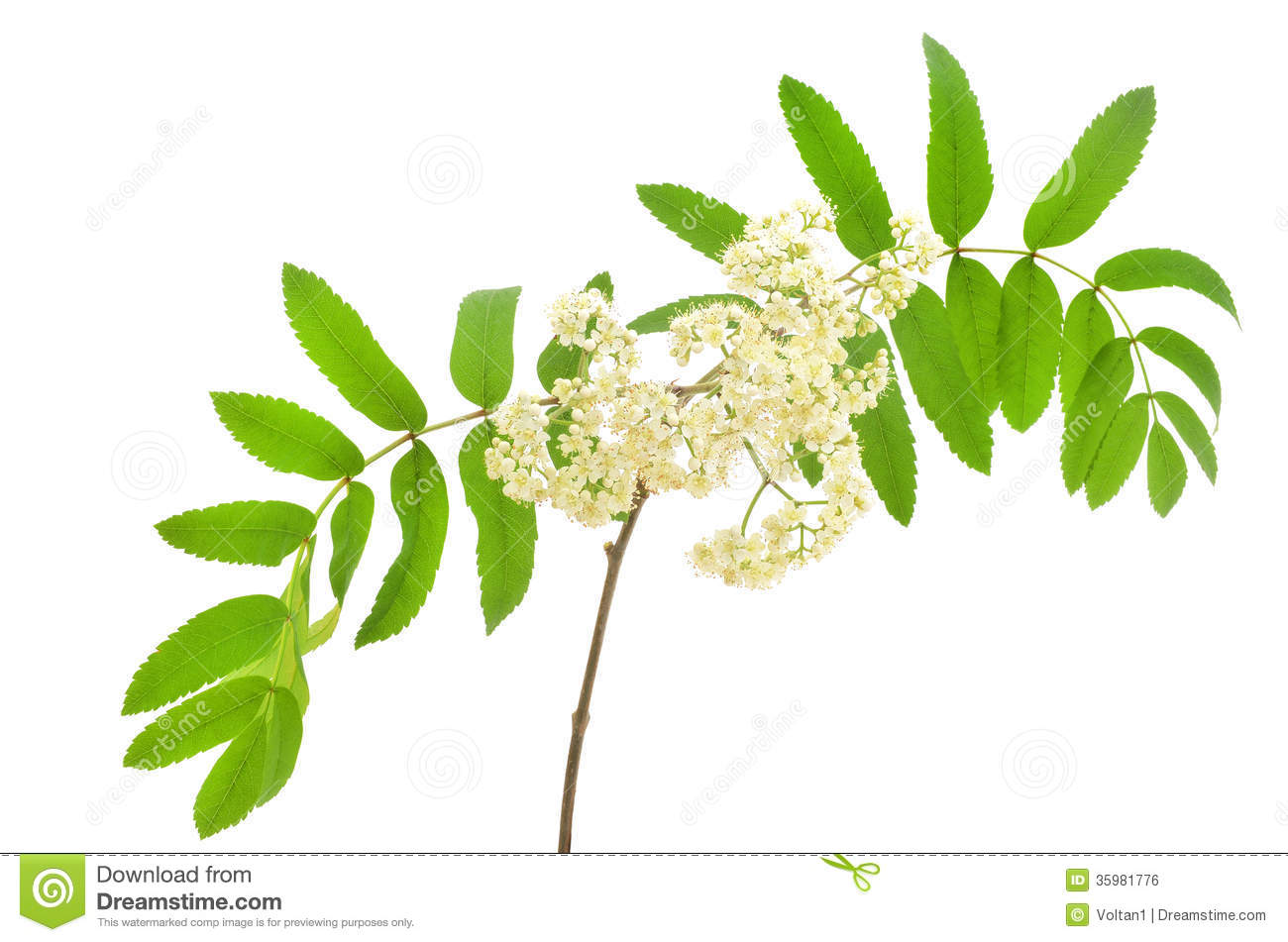 Blossoming Sorbus Aucuparia Royalty Free Stock Image.