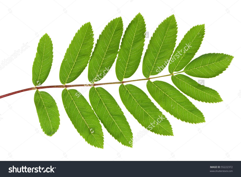 Rowan Sorbus Aucuparia Green Leaf Closeup Stock Photo 55222372.