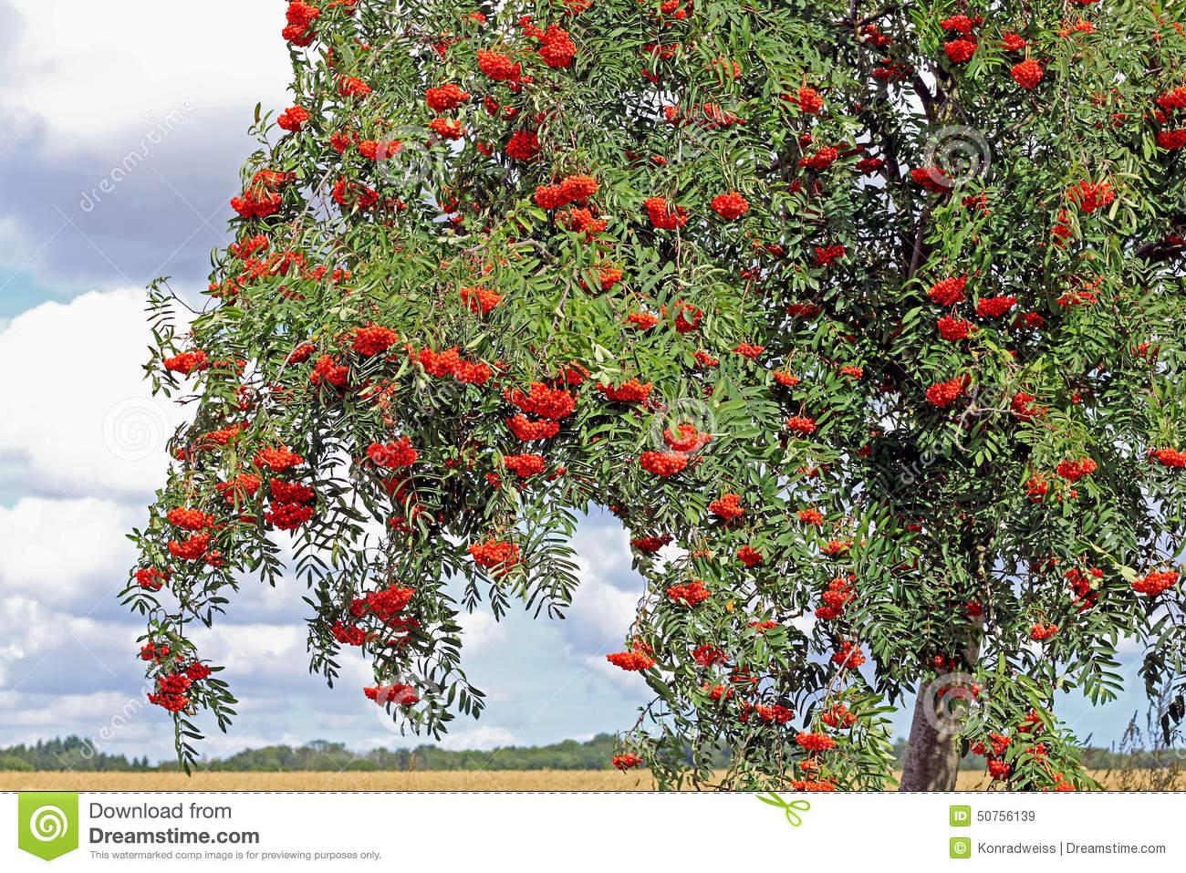 Rowan With Ripe Berries, Sorbus Aucuparia Stock Photo.
