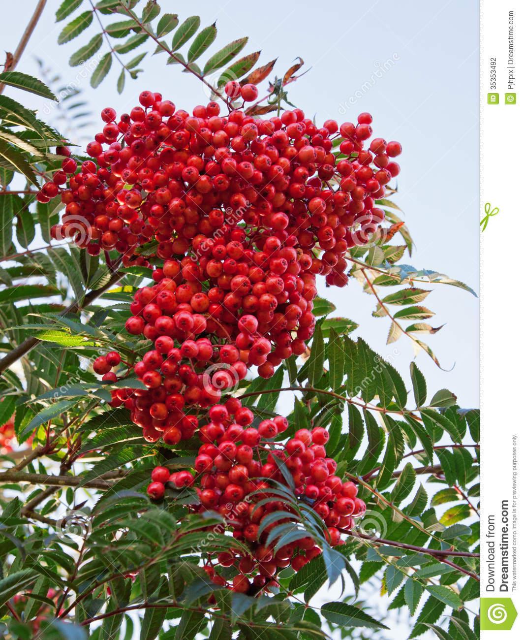 Rowan Berries (Sorbus Aucuparia) Stock Photography.