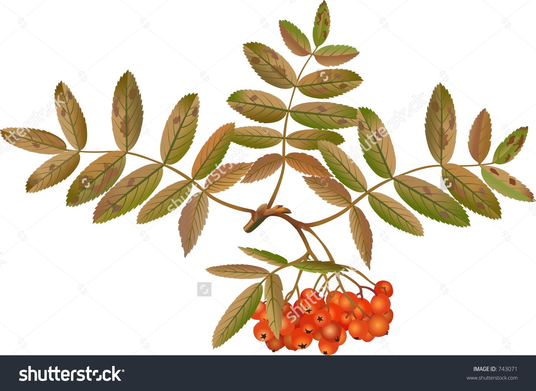 Sorbus Aucuparia Stock Photo 743071 : Shutterstock.