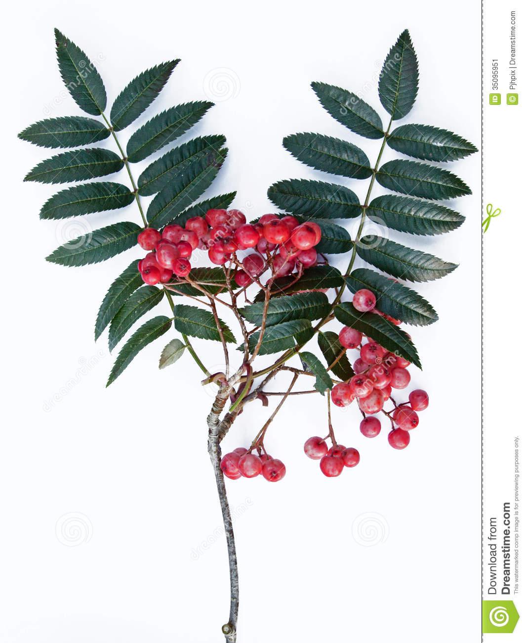 Rowan Berries (Sorbus Aucuparia) Stock Image.