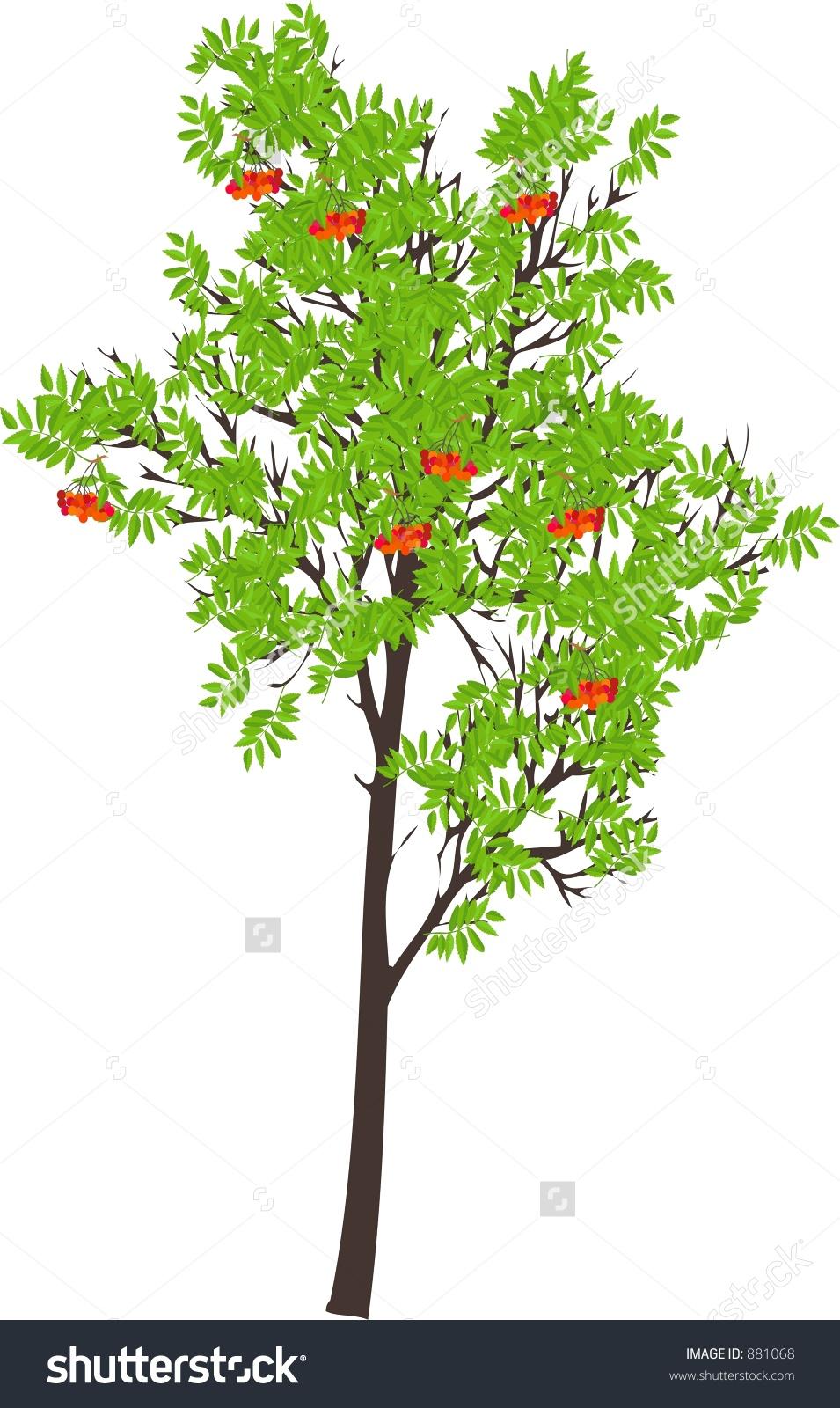Sorbus Aucuparia Stock Photo 881068 : Shutterstock.