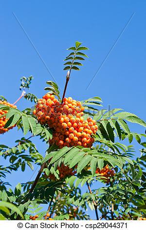 Picture of Rowan berries on a mountain ash or rowan tree, Sorbus.