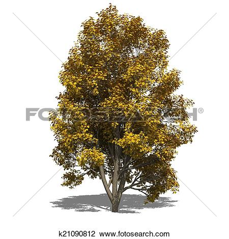 Clip Art of Sorbus aucuparia (autumn) k21090812.