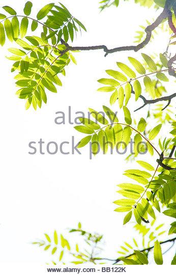 Germany Sorbus Aucuparia Stockfotos und Germany Sorbus Aucuparia.