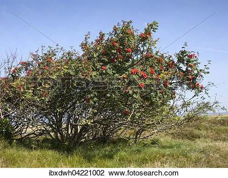 Stock Photo of Mountain ash or rowan (Sorbus aucuparia) near the.