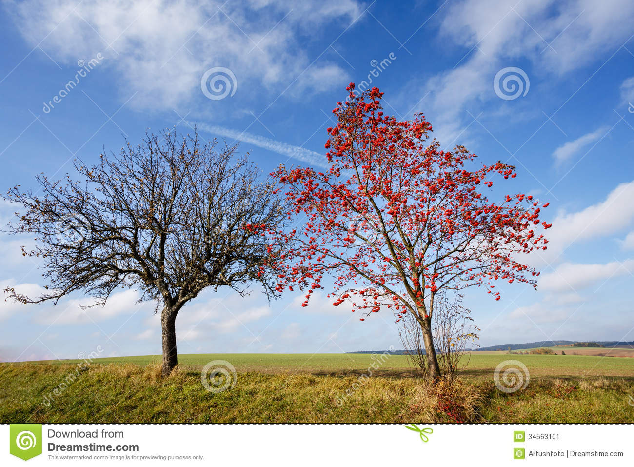 Tree Of Rowan Berries (Sorbus Aucuparia) Stock Image.