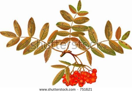 Sorbus Aucuparia Stock Vectors & Vector Clip Art.