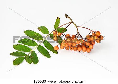 Stock Photography of Mountain Ash, Rowan (Sorbus aucuparia), twig.
