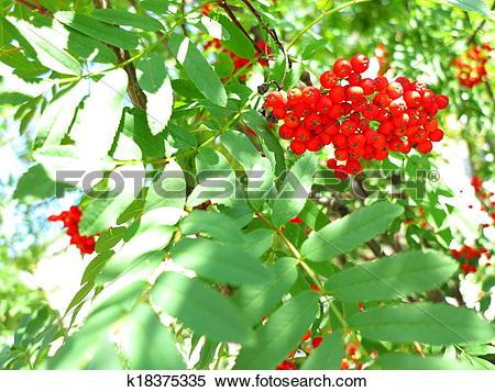 Stock Image of Autumn rowan berries ashberry. Sorbus aucuparia.