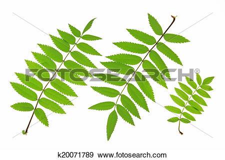 Stock Photograph of Rowan leaves (Sorbus aucuparia) k20071789.