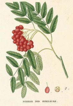 Permaculture Plants: Sorbus Species.