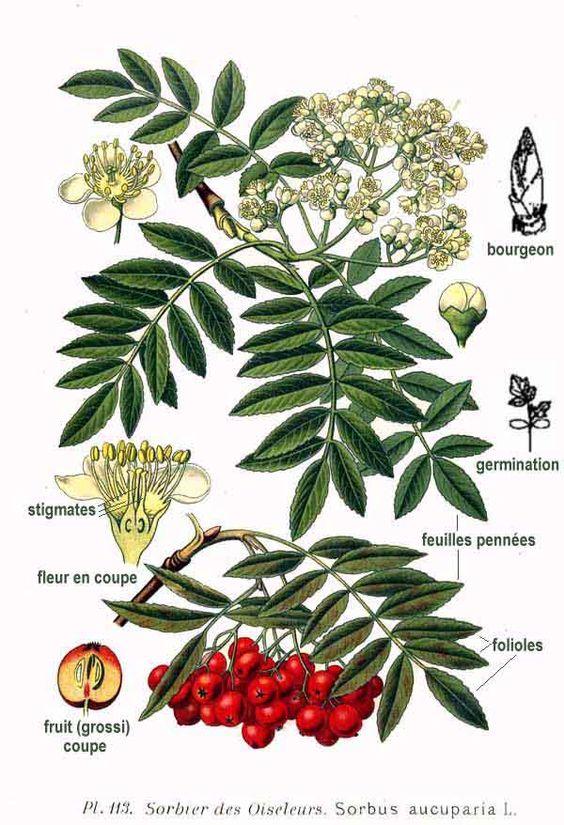 081514 rowan ~ Sorbus Aucuparia http://www.pinterest.com.