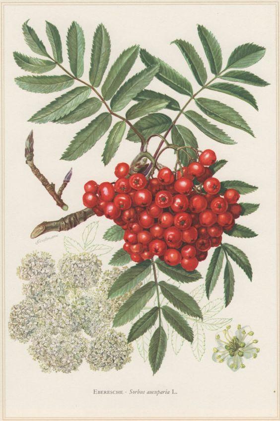 1960 Vintage Botanical Print, Sorbus aucuparia, Rowan, Mountain.
