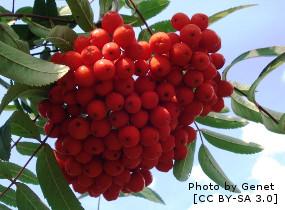 MOUNTAIN ASH, EDULIS (Sorbus aucuparia edulis). Ornamental Trees..