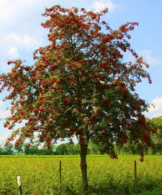 Buy Sorbus aucuparia (Rowan) online from Jacksons Nurseries.