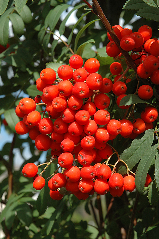 1000+ images about Celtic Tree: ROWAN or ASH on Pinterest.