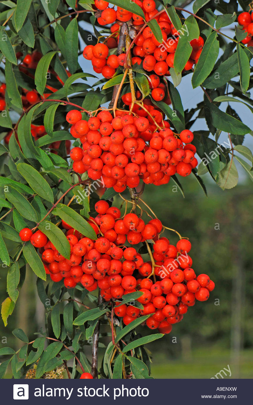 European Mountain Ash, Rowan (sorbus Aucuparia Var. Moravica Stock.