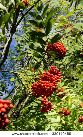 Aucuparia Sorbus Stock Photos, Images, & Pictures.