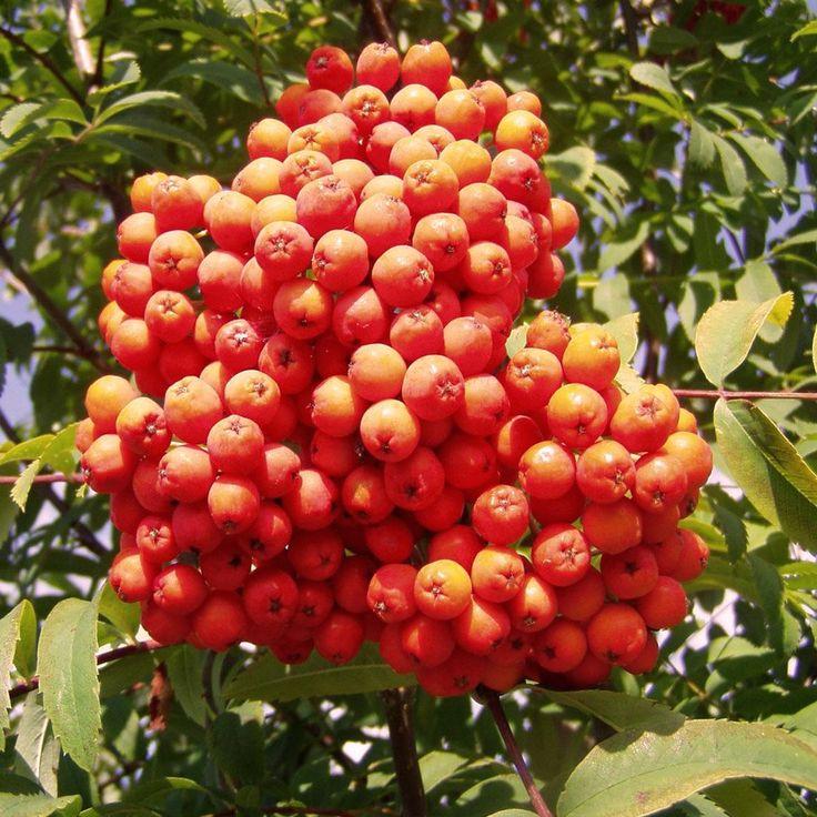Přes 1000 nápadů na téma Sorbus Aucuparia na Pinterestu.