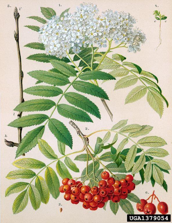 1000+ ideas about Sorbus Aucuparia on Pinterest.