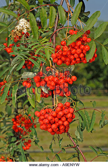 Sorbus Aucuparia Food Stock Photos & Sorbus Aucuparia Food Stock.