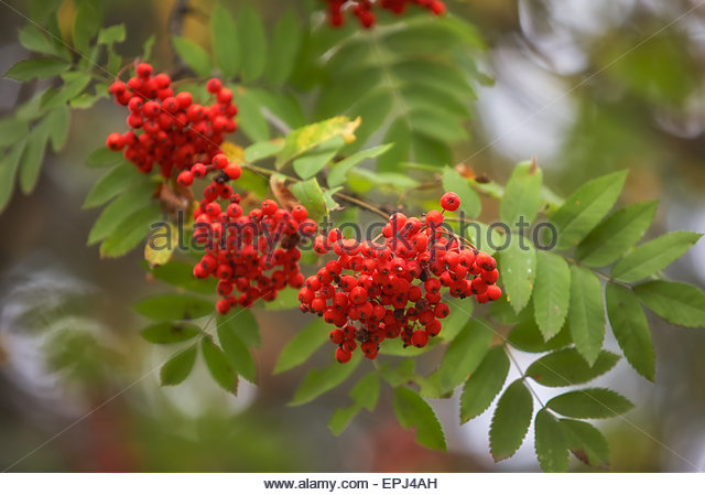Sorbus Aucuparia Garden Stock Photos & Sorbus Aucuparia Garden.